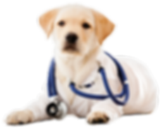 Yellow lab with stethescope