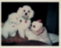 3 poodles10182018.jpg