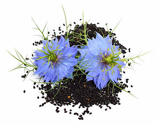 Nigella-sativa-or-fennel-flower-nutmeg-f