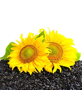 two-sunflower-and-sunflower-seeds-on-a-w