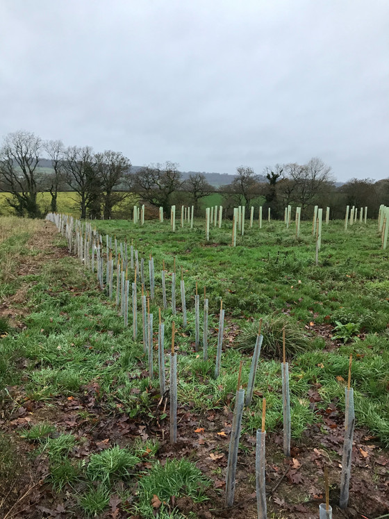 Nice small plantation today. 500 native hedging with 100 soft fruit shrubs mixed in and around 500 t