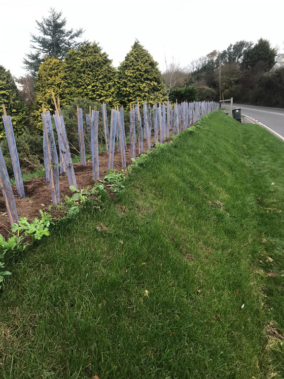Conservation hedge planted today. Species are hawthorn, field maple, hazel, blackthorn, dogrose, spi