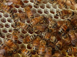 neaizvakots medus, bites.png