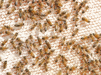 aizvakots medus, bites.png