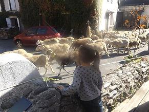 Moutons passent devant le gîte de Fos