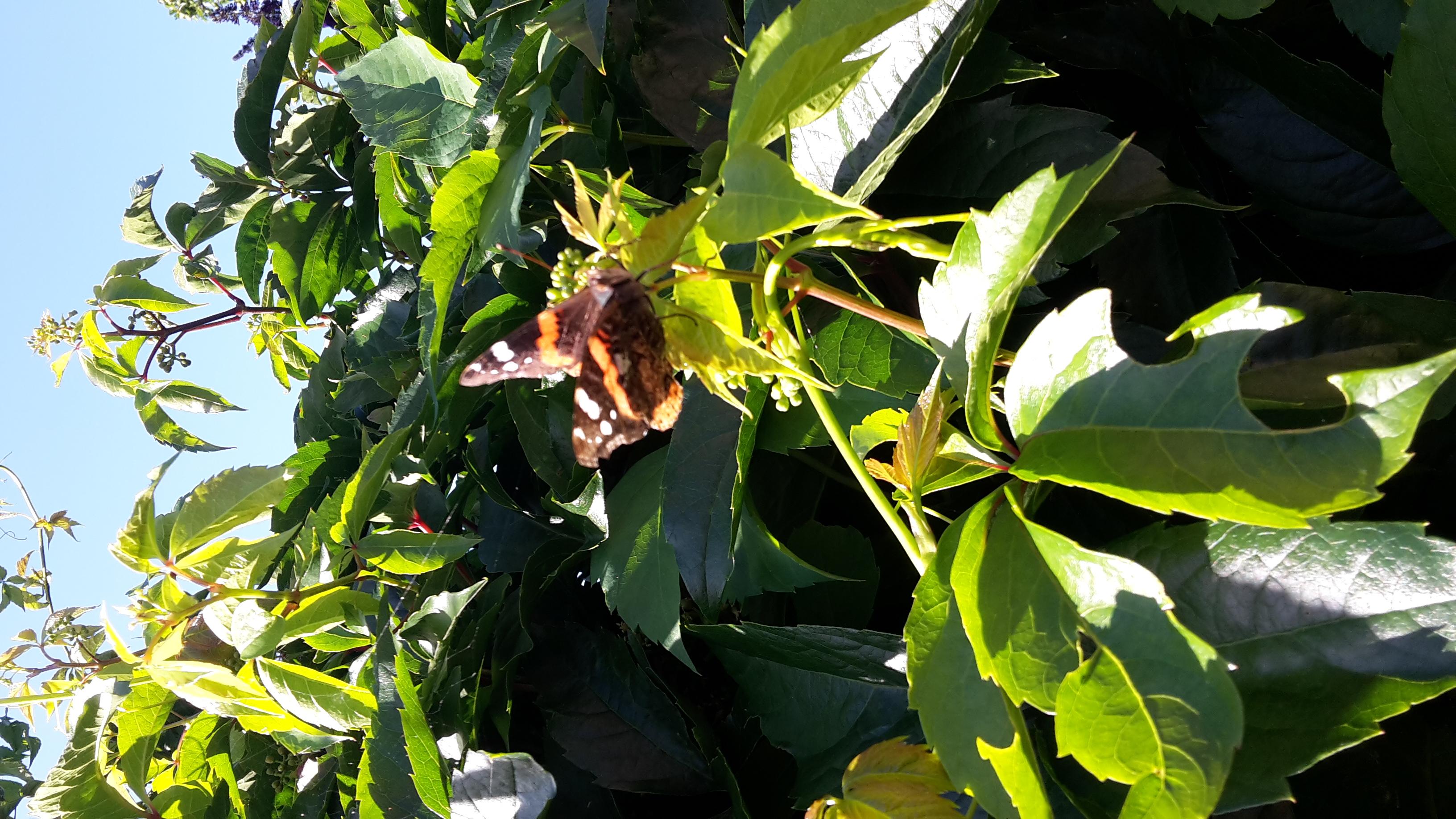 vlinder op wijnblad