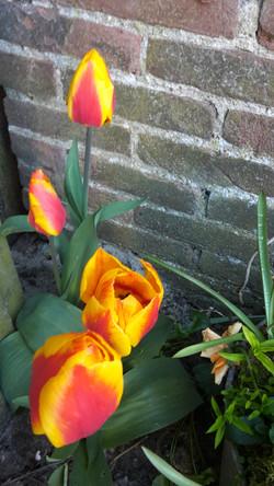 Tulpen april