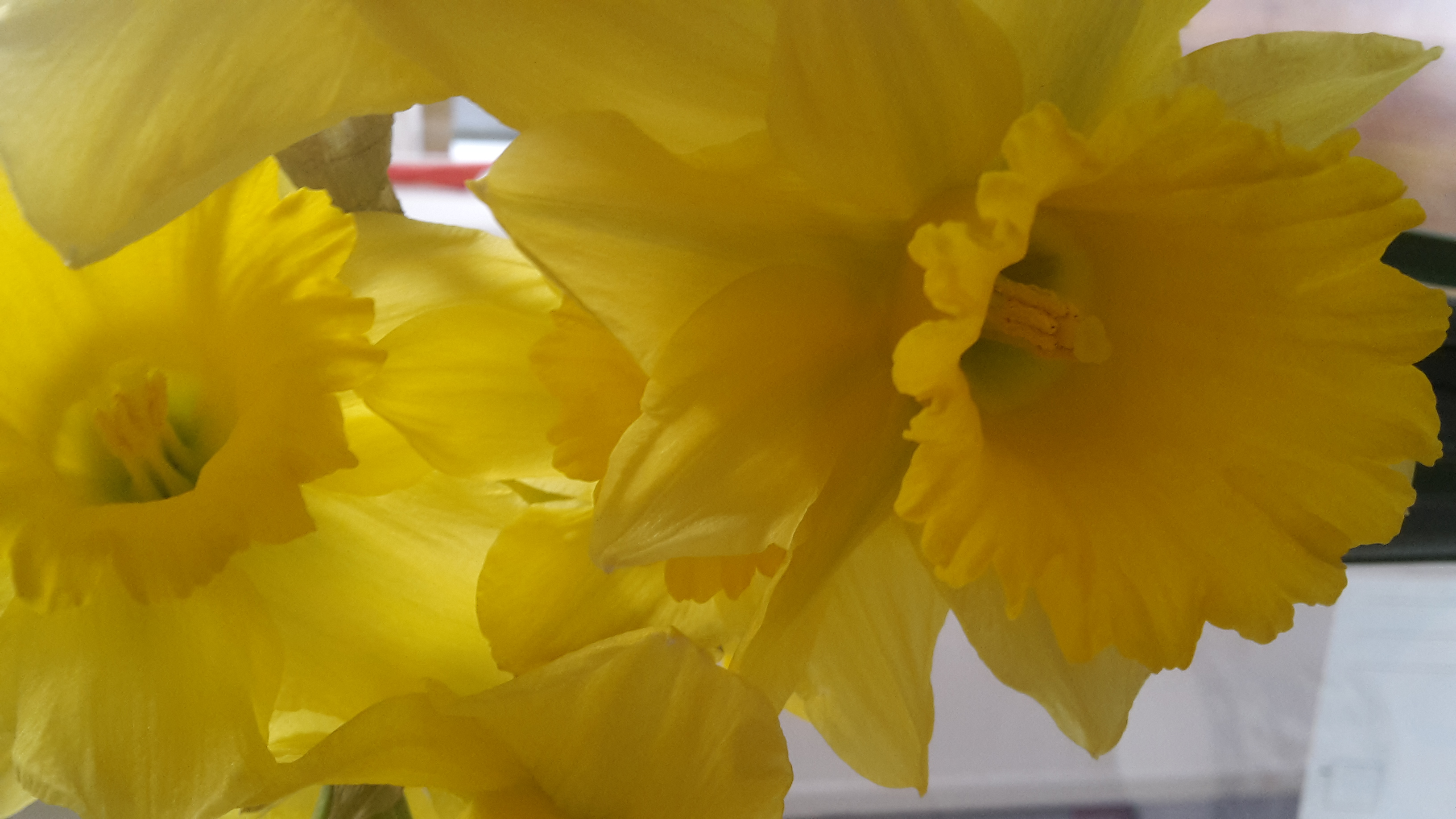 narcis maart