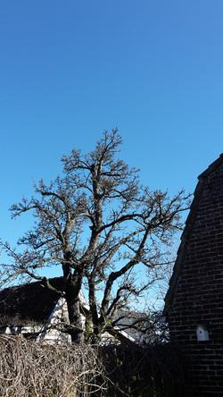 Perenboom naast Huisje Bloem