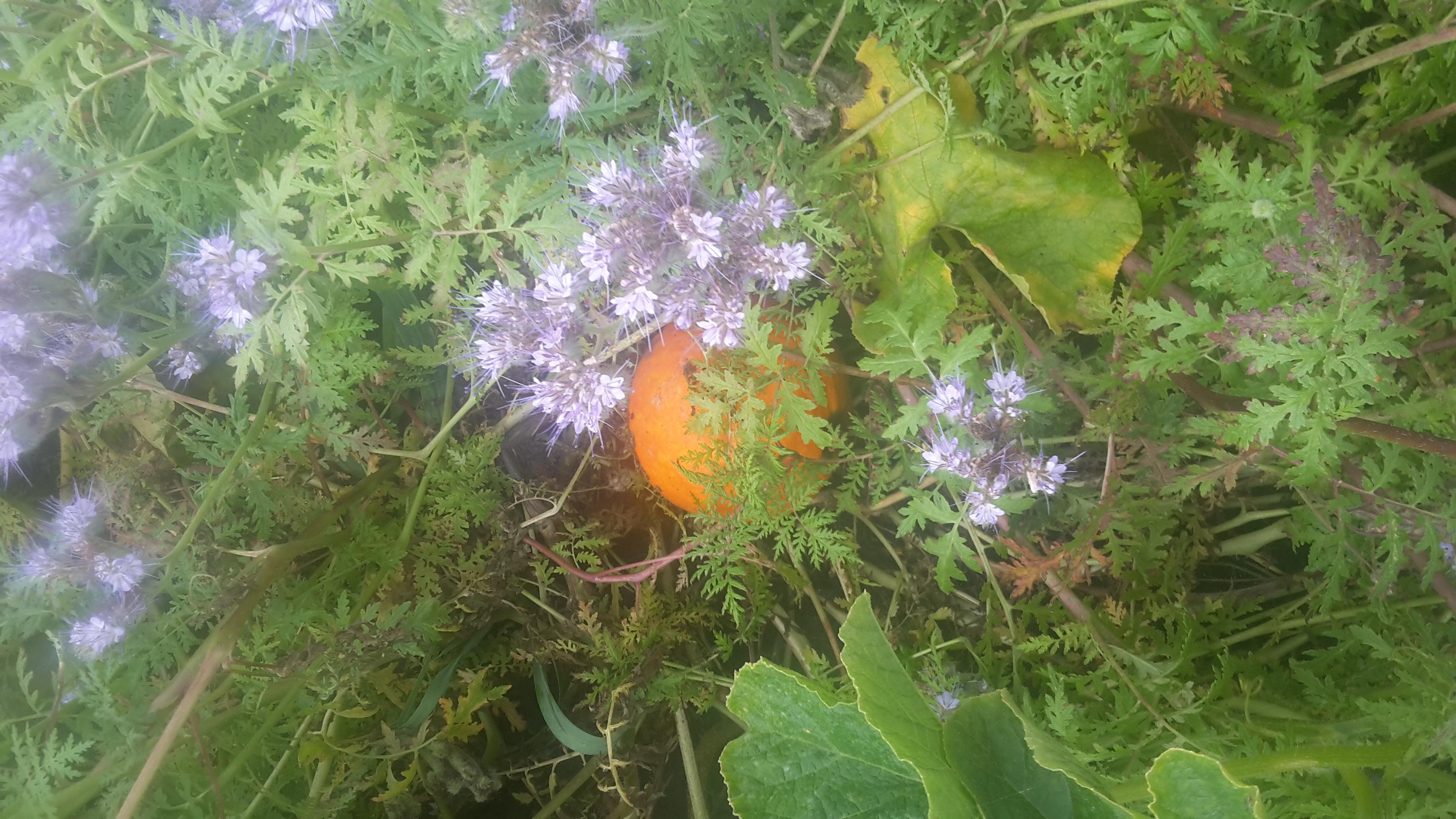 pompoen met Phacelia (bijenplant)