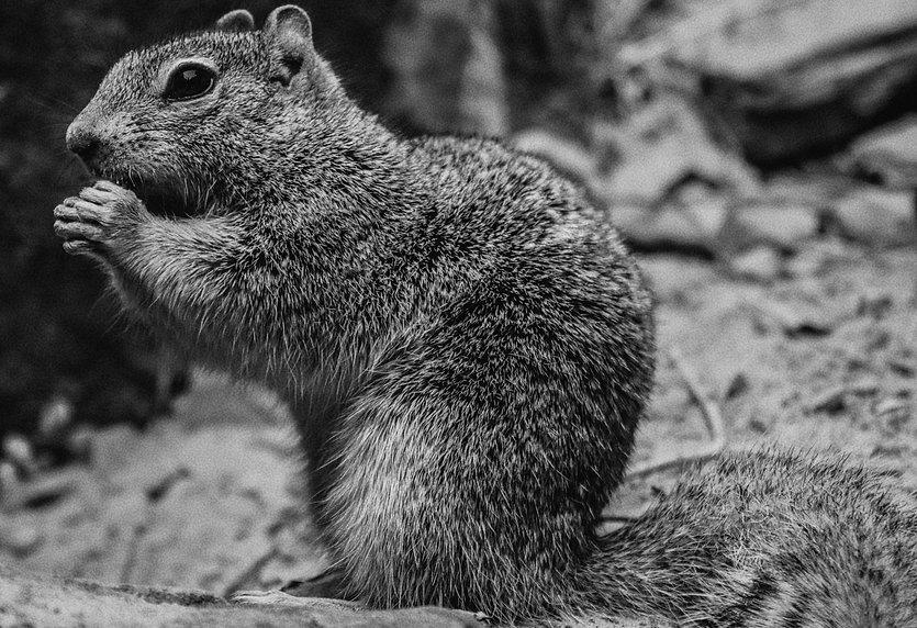 ZionSquirrel (1).jpg