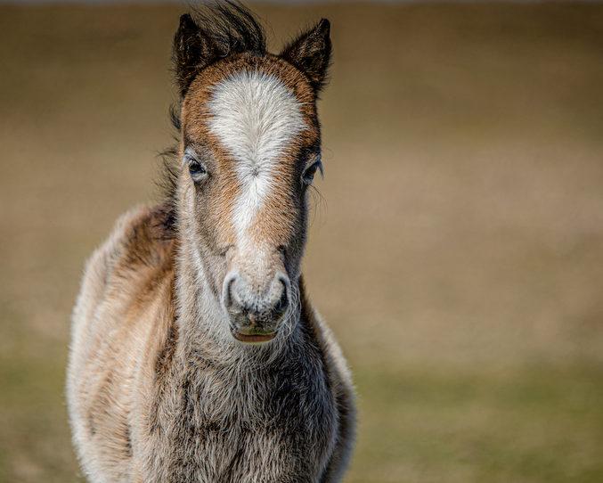 welshmountain foal.jpg
