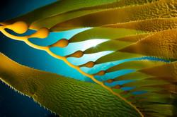 kelp star