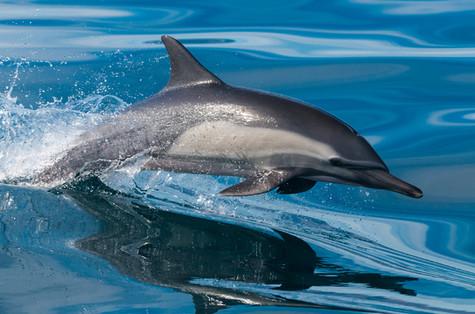 Buy this common dolphin print
