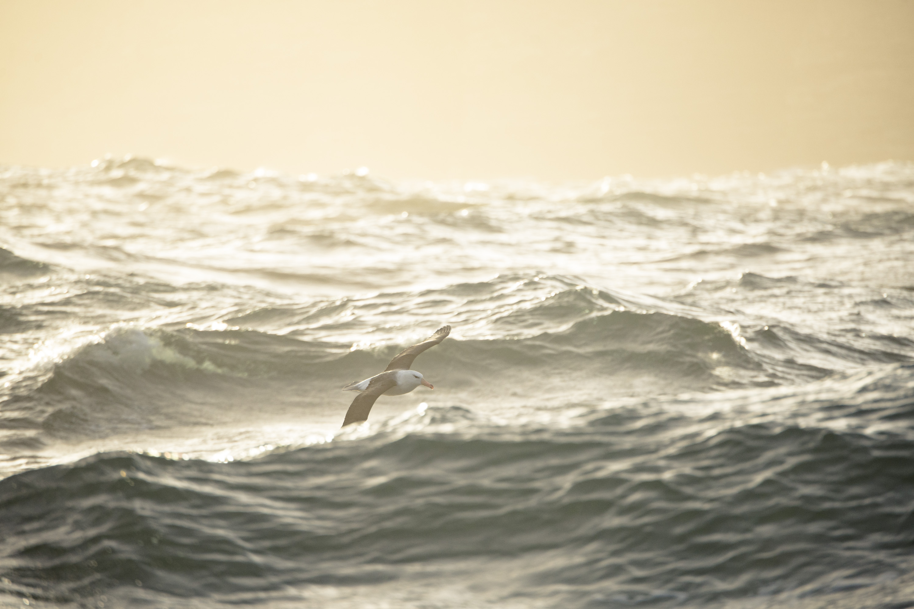 Albatross waves Justin Hofman