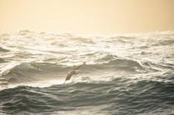 Albatross waves Justin Hofman