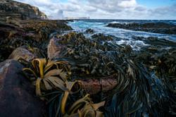 falkland kelp justin hofman