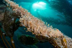 kelp amphipod justin hofman