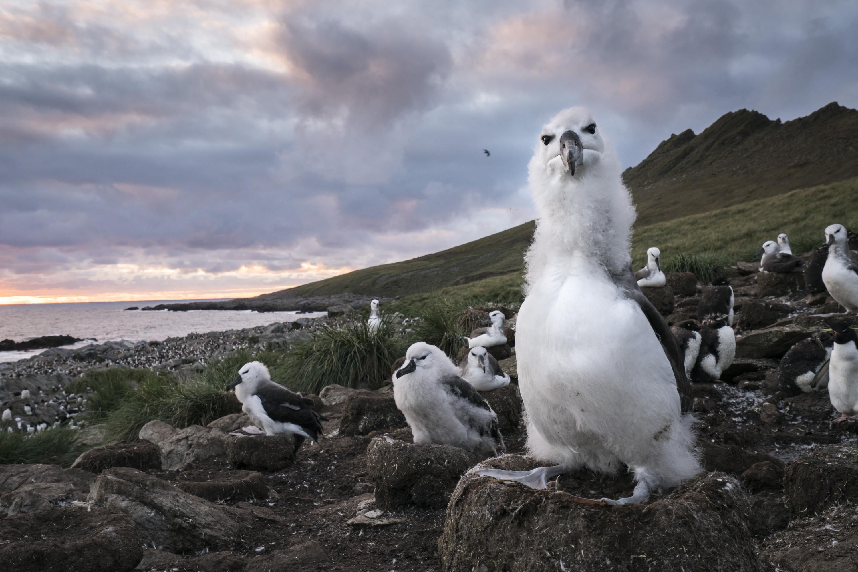 Albatross chick Justin Hofman