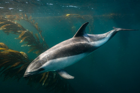 Buy this Peale's dolphin print