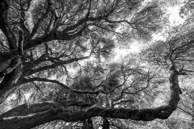 Buy this giant oak print