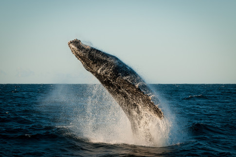 Buy this humpback whale print