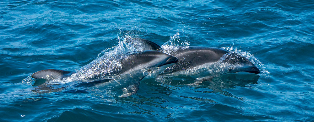 Pacific white-sided dolphins shot with the Sony a9