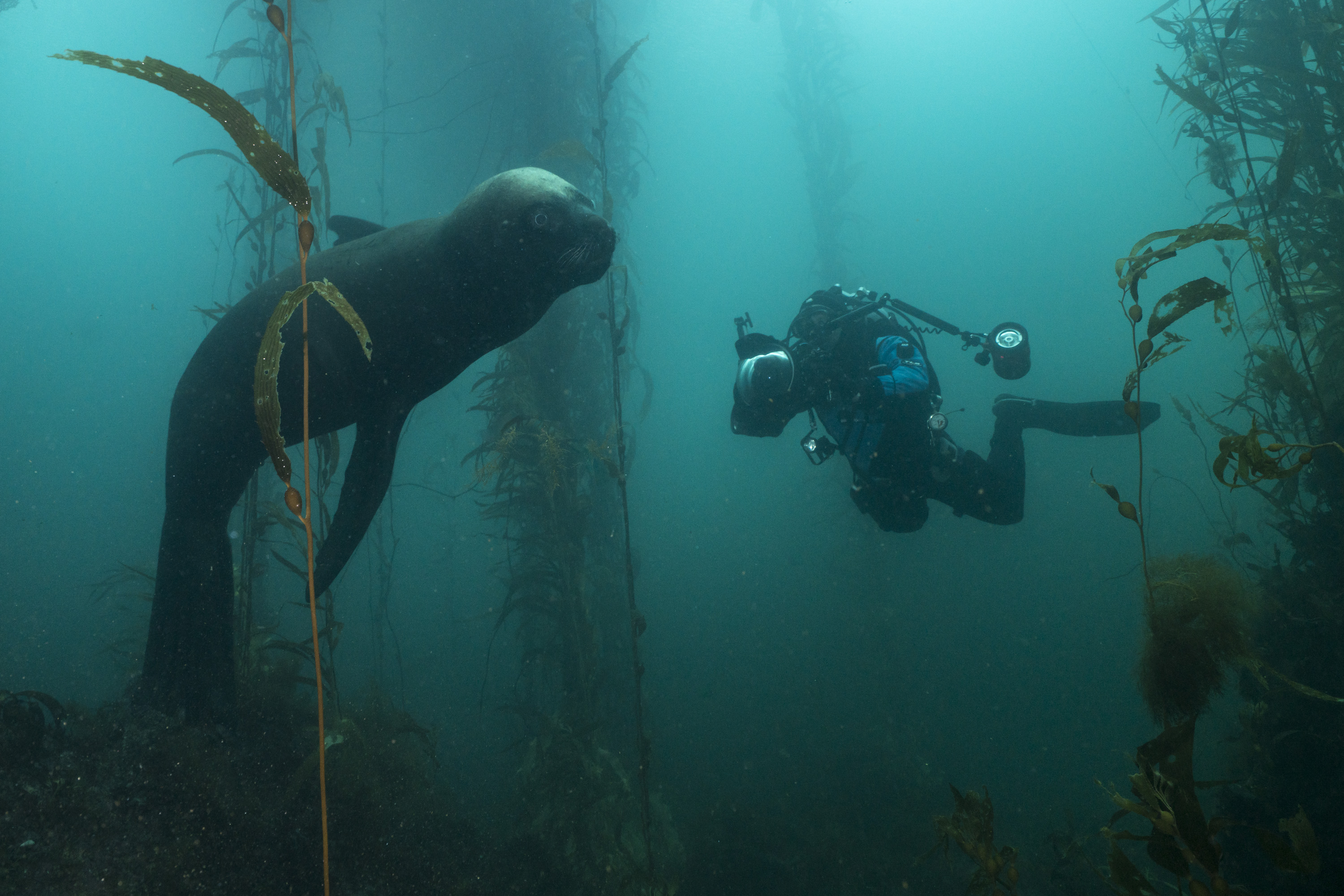 Sea lion and diver Justin Hofman