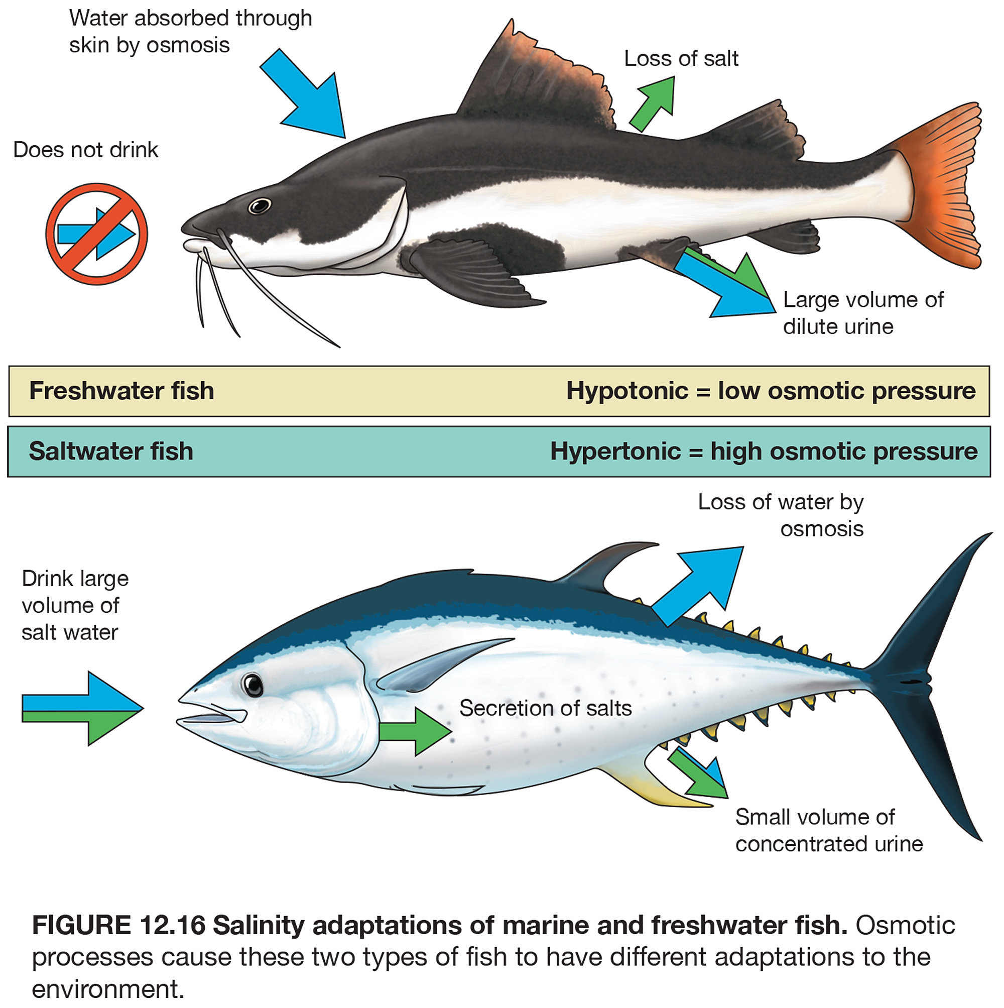Freshwater fish hypertonic - Osmotic Pressures In Fish Found In Essentials Of Oceanography 11th Ed By Trujillo And Thurman Adobe Photoshop And Illustrator