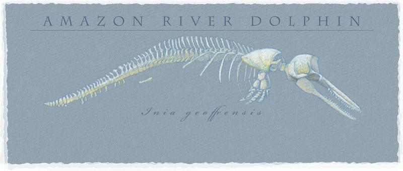 amazon-river-dolphin.jpg