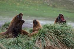 Sea lion Falkland Justin Hofman