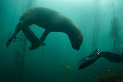 Sea lion and diver Justin Hofman