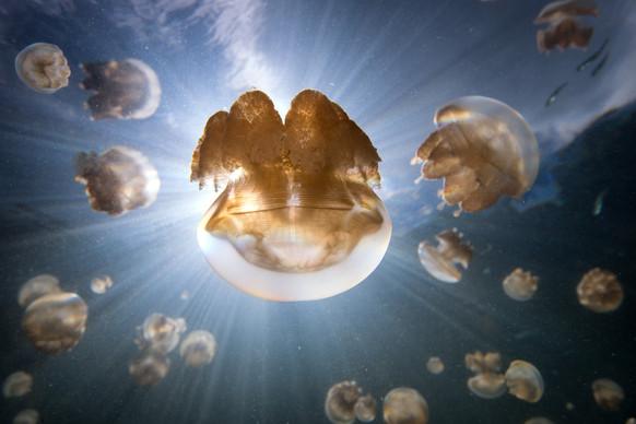 Buy this jellyfish print