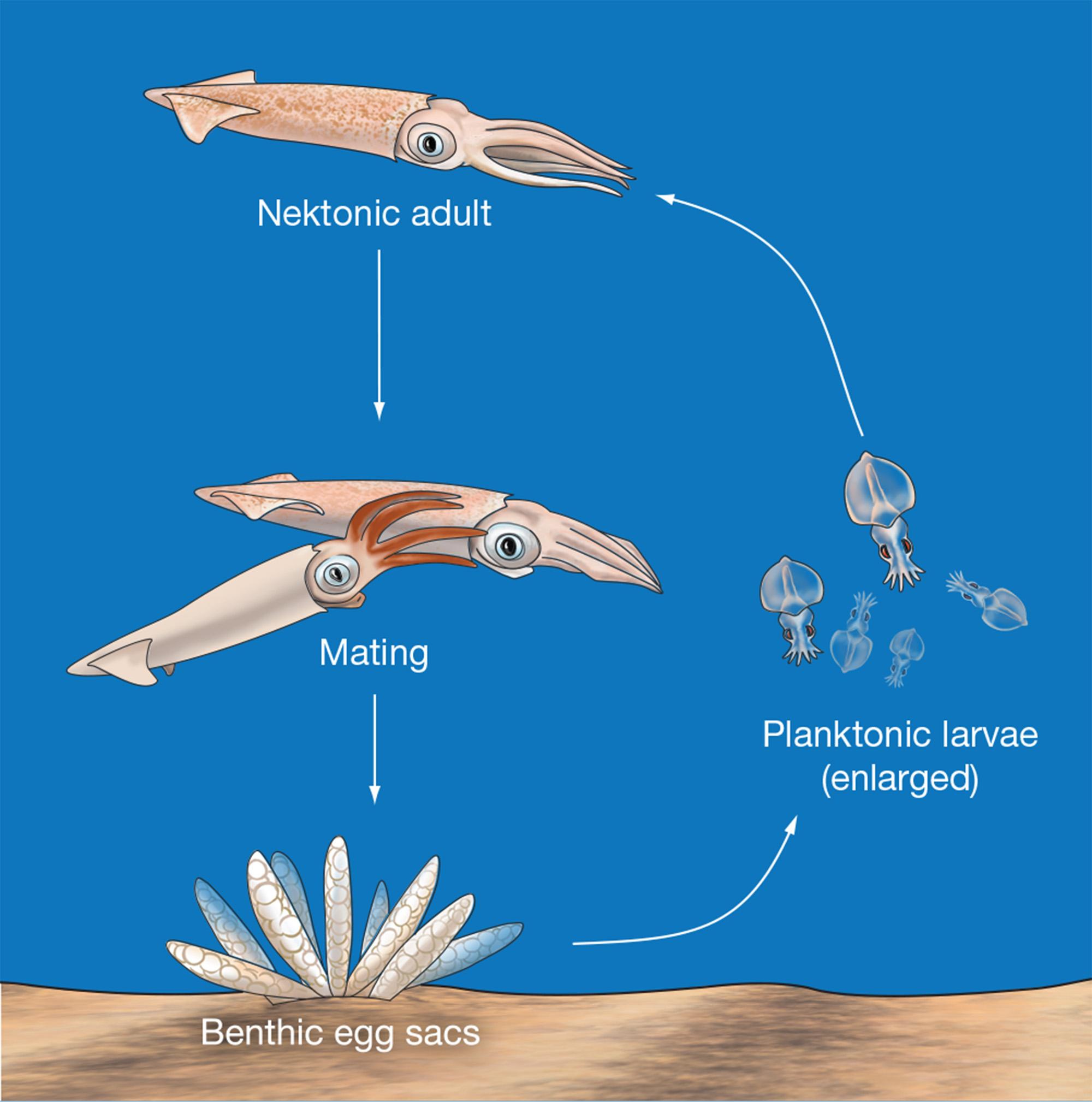 Justin Hofman scientific illustration