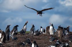 Turkey vulture penguin Justin Hofman