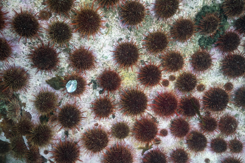 Urchin barren Justin Hofman