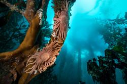 star kelp forest justin hofman falk