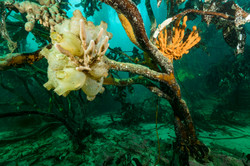 Tree kelp tunicate Justin Hofman