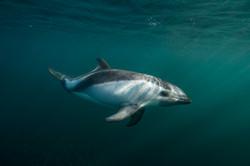 Peale's dolphin Justin Hofman