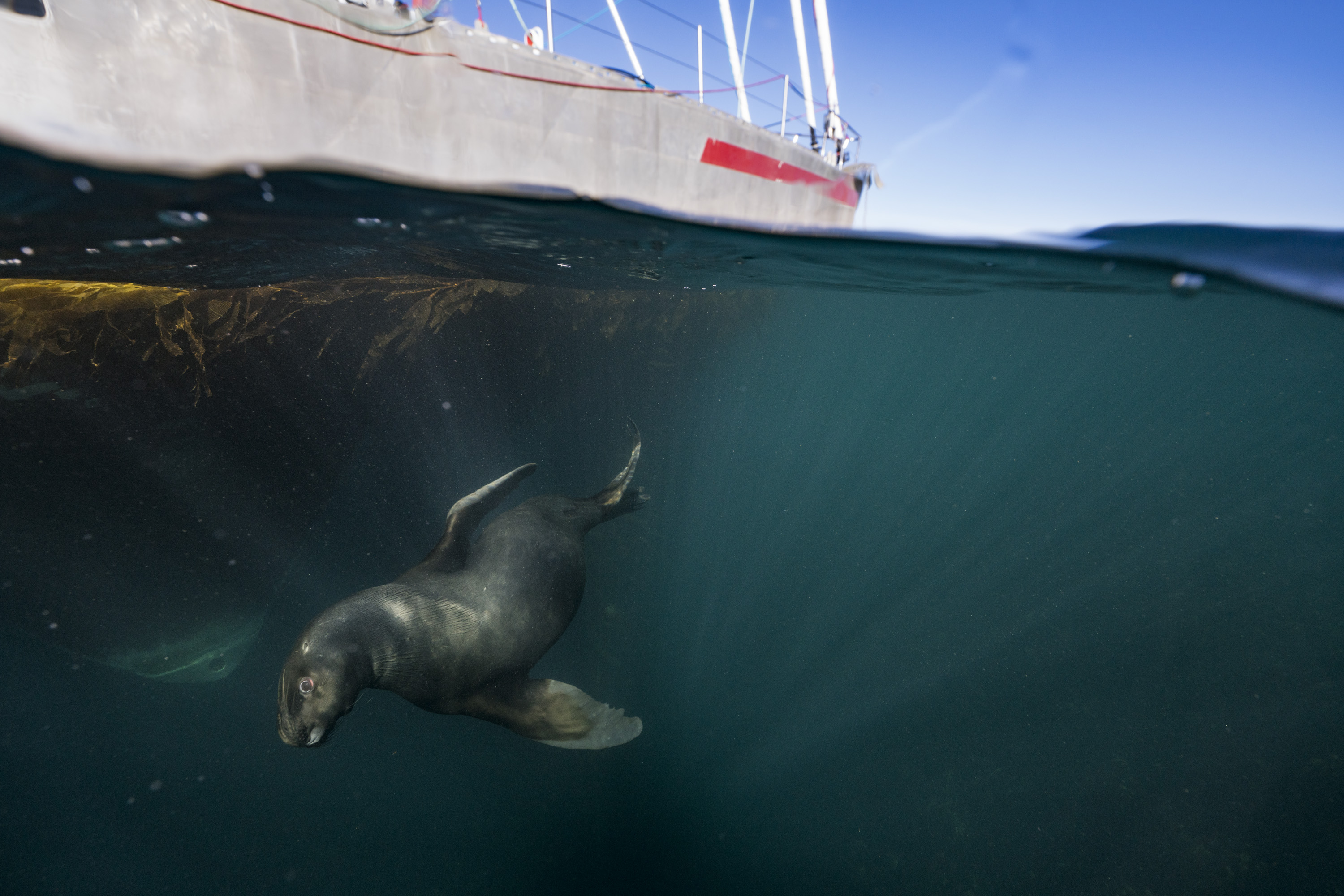 Sea lion and sail boat Justin Hofman