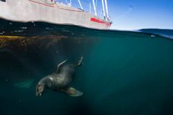 Sea lion and sail boat Justin Hofman