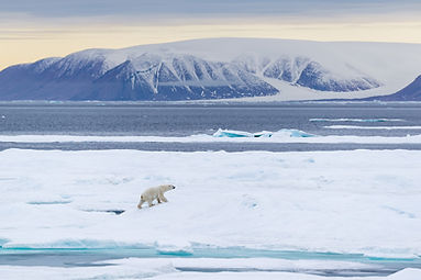 Polar bear Justin Hofman