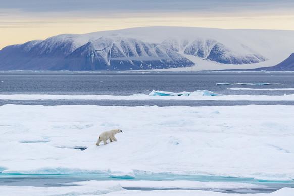 Buy this polar bear print