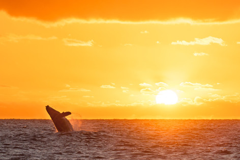 Buy this sunrise breaching humpback