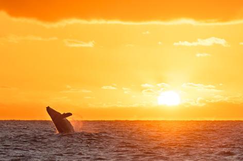 Buy this sunrise breaching humpback