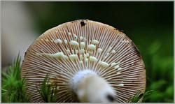 Lactarius chrysorrheus     2