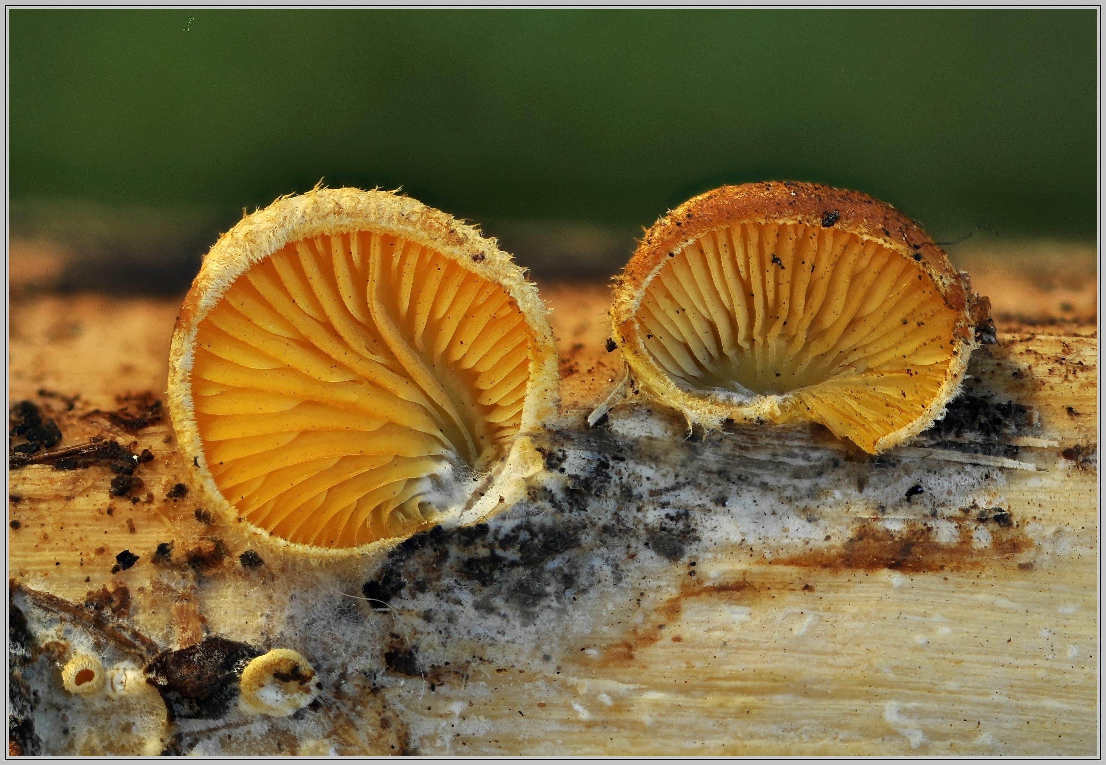 Phyllotopsis nidulans    3