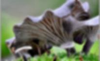 Faerberia carbonaria      5.jpg