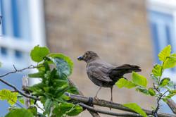 Original Bird