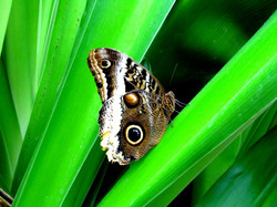 The Magnificent owl butterfly
